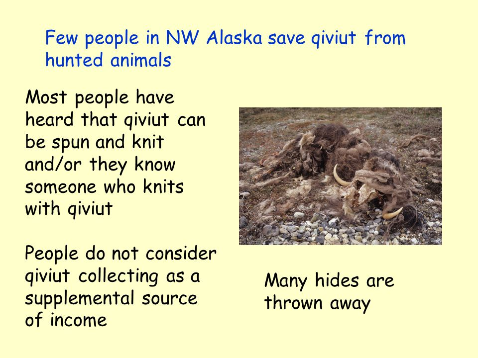 Few people in NW Alaska save qiviut from hunted animals Most people have heard that qiviut can be spun and knit and/or they know someone who knits with qiviut People do not consider qiviut collecting as a supplemental source of income Many hides are thrown away