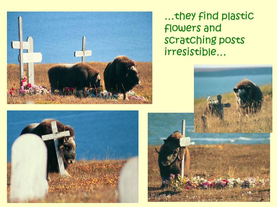 Mekoryuk: -the first, introduced generation of muskoxen (1930ies) were mean and scared people .