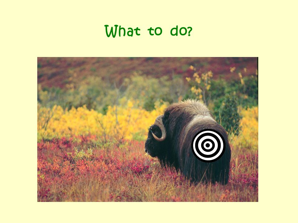 How important are muskoxen as a subsistence animal in your village.