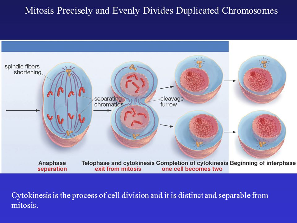 Mitosis Precisely and Evenly Divides Duplicated Chromosomes Cytokinesis is the process of cell division and it is distinct and separable from mitosis.