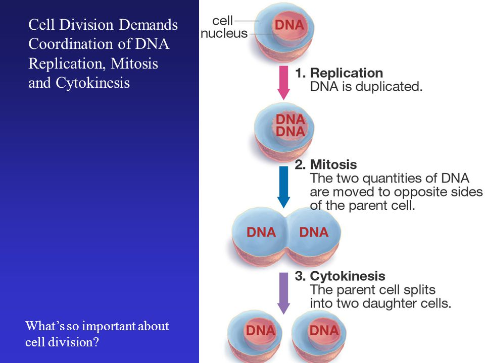 Cell Division Demands Coordination of DNA Replication, Mitosis and Cytokinesis What's so important about cell division?