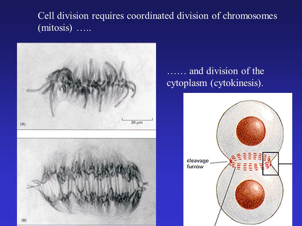 Cell division requires coordinated division of chromosomes (mitosis) ….. …… and division of the cytoplasm (cytokinesis).
