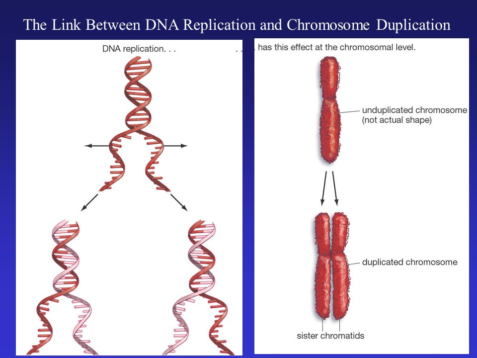 DNA is Condensed into Visible Chromosomes Only For Brief Periods in the Life of a Cell 95% of the time, chromosomes are like this.