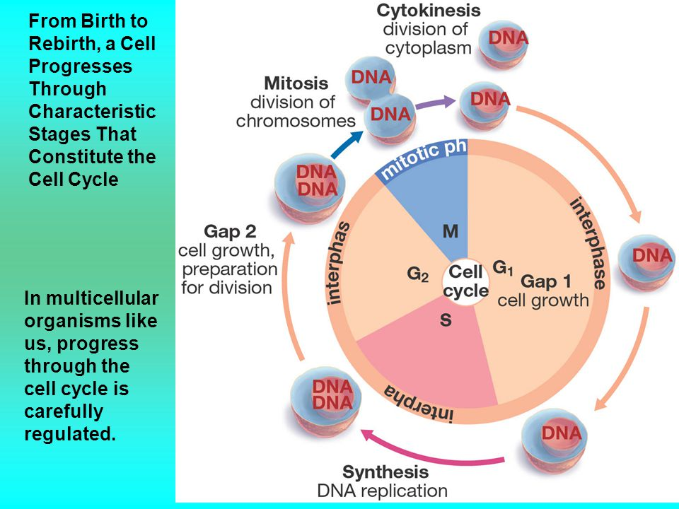 From Birth to Rebirth, a Cell Progresses Through Characteristic Stages That Constitute the Cell Cycle In multicellular organisms like us, progress thr