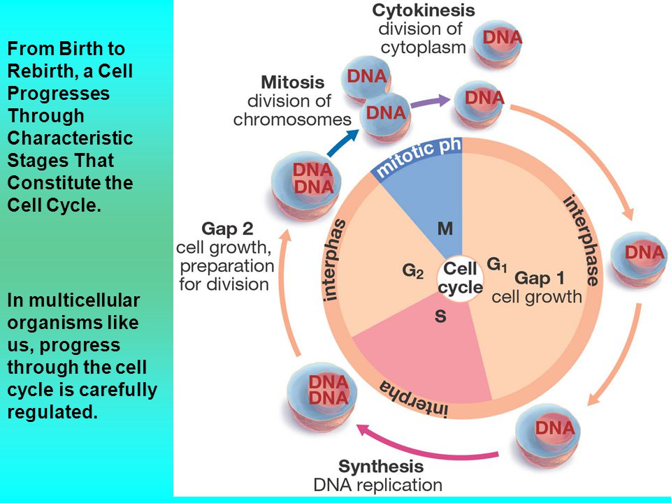 From Birth to Rebirth, a Cell Progresses Through Characteristic Stages That Constitute the Cell Cycle. In multicellular organisms like us, progress th
