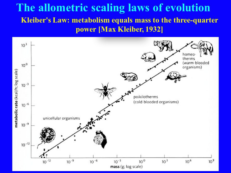 The allometric scaling laws of evolution Kleiber s Law: metabolism equals mass to the three-quarter power [Max Kleiber, 1932]