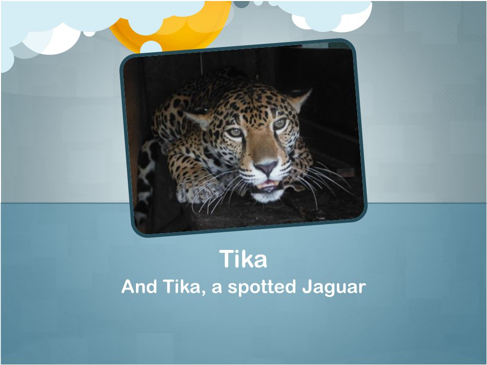 And Tika, a spotted Jaguar Tika