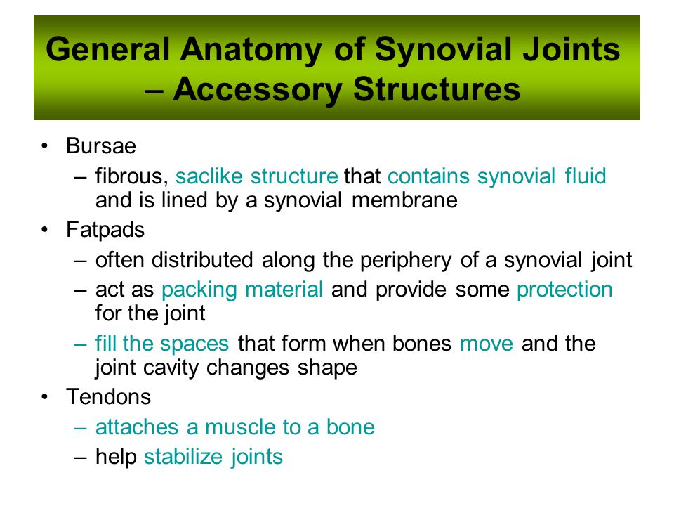 General Anatomy of Synovial Joints – Accessory Structures Bursae –fibrous, saclike structure that contains synovial fluid and is lined by a synovial membrane Fatpads –often distributed along the periphery of a synovial joint –act as packing material and provide some protection for the joint –fill the spaces that form when bones move and the joint cavity changes shape Tendons –attaches a muscle to a bone –help stabilize joints
