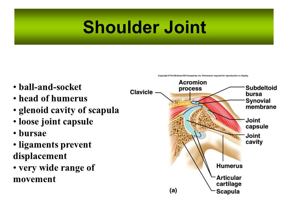 Shoulder Joint ball-and-socket head of humerus glenoid cavity of scapula loose joint capsule bursae ligaments prevent displacement very wide range of