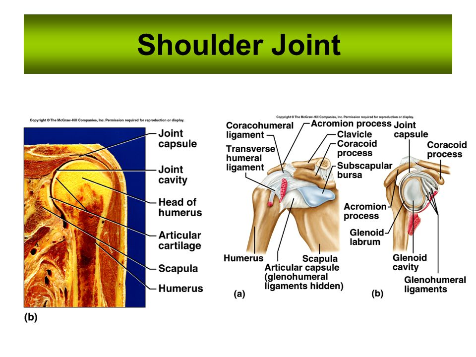Shoulder Joint