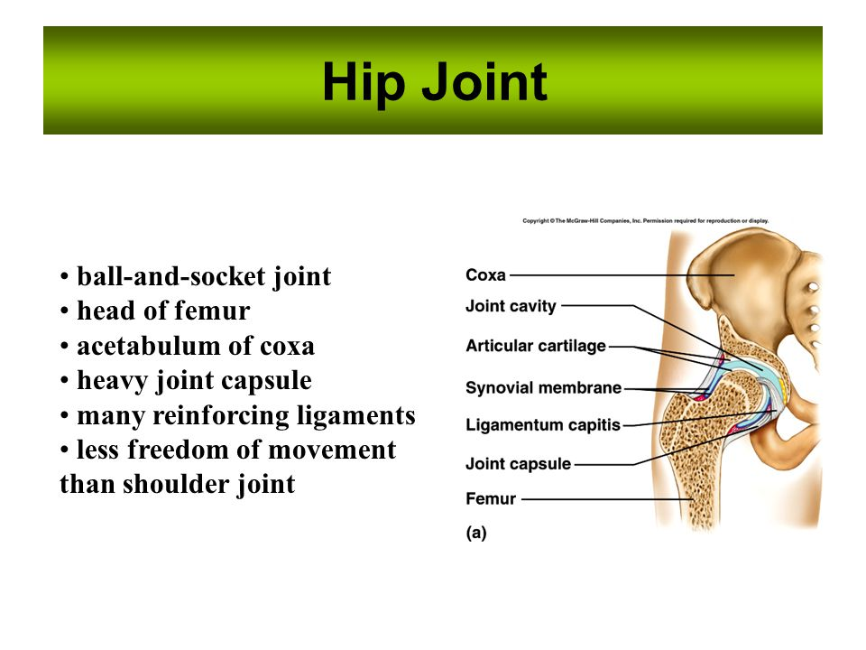 Hip Joint ball-and-socket joint head of femur acetabulum of coxa heavy joint capsule many reinforcing ligaments less freedom of movement than shoulder