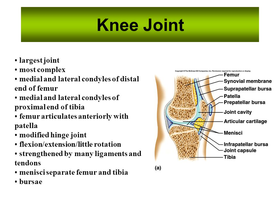 Knee Joint largest joint most complex medial and lateral condyles of distal end of femur medial and lateral condyles of proximal end of tibia femur ar