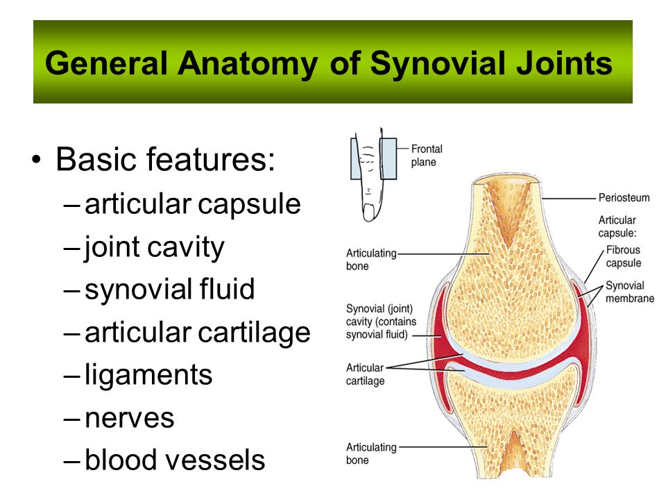 General Anatomy of Synovial Joints Basic features: –articular capsule –joint cavity –synovial fluid –articular cartilage –ligaments –nerves –blood vessels