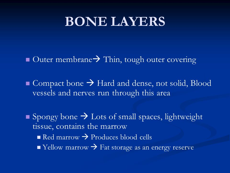 BONE LAYERS Outer membrane  Thin, tough outer covering Compact bone  Hard and dense, not solid, Blood vessels and nerves run through this area Spong