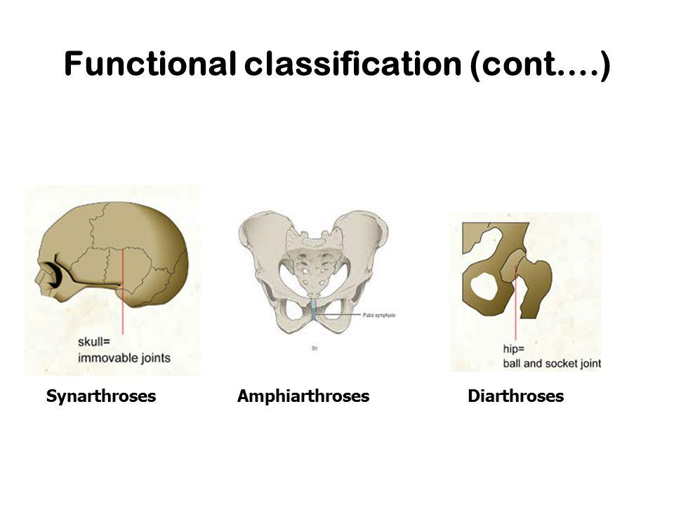 Functional classification (cont….) SynarthrosesAmphiarthrosesDiarthroses