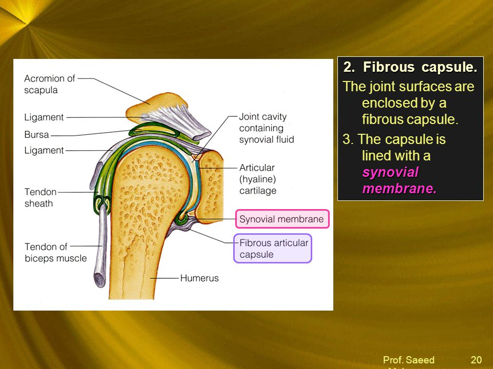 Prof.Saeed Makarem 20 2.Fibrous capsule. The joint surfaces are enclosed by a fibrous capsule.