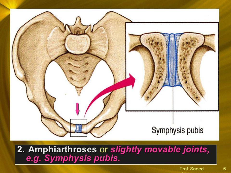 Prof. Saeed Makarem 6 2. Amphiarthrosesslightly movable joints, e.g. Symphysis pubis. 2. Amphiarthroses or slightly movable joints, e.g. Symphysis pub