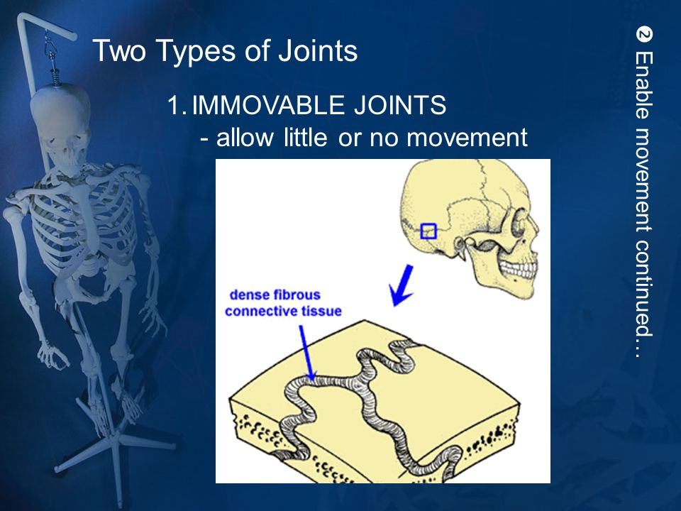 Enable movement continued… Two Types of Joints 1.IMMOVABLE JOINTS - allow little or no movement