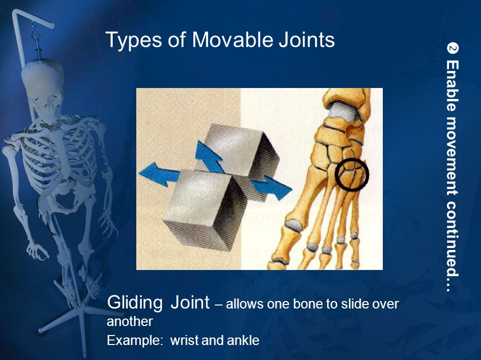  Enable movement continued… Gliding Joint – allows one bone to slide over another Example: wrist and ankle Types of Movable Joints