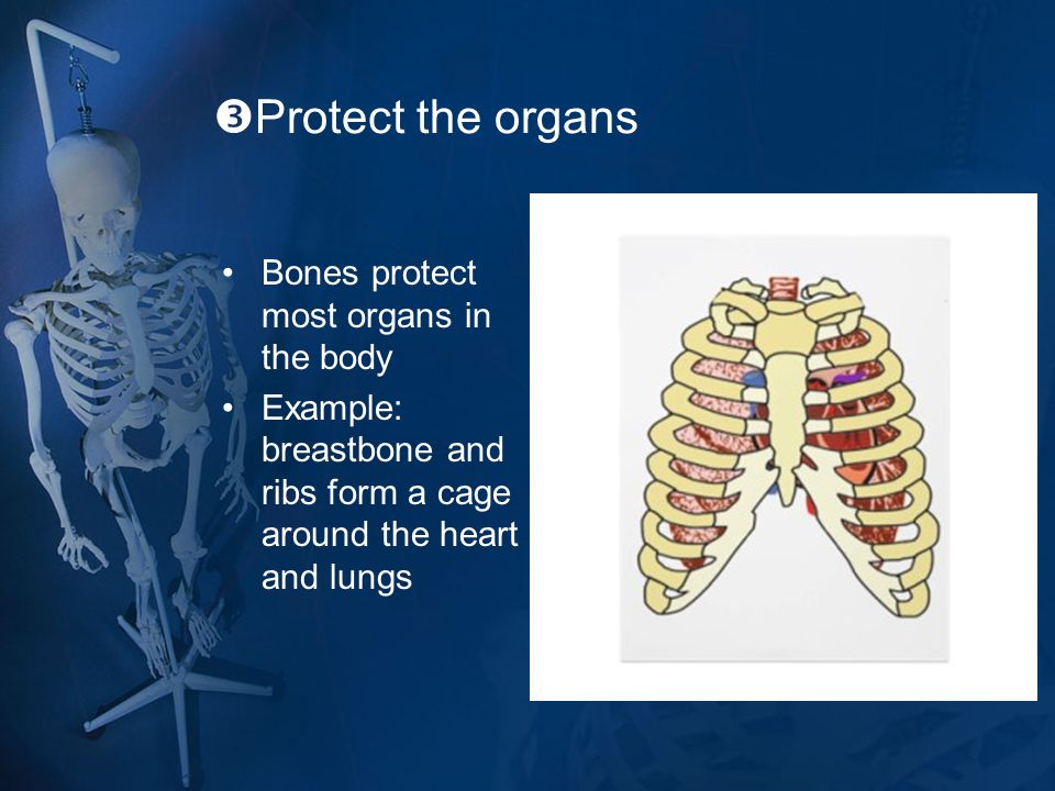  Protect the organs Bones protect most organs in the body Example: breastbone and ribs form a cage around the heart and lungs