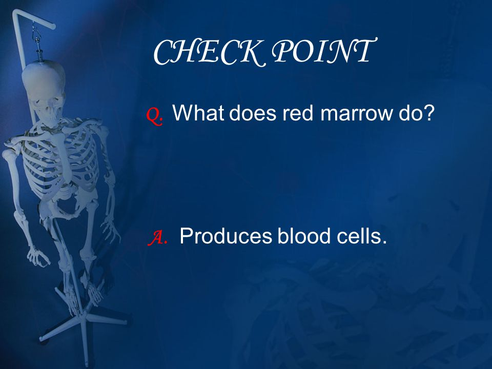 CHECK POINT Q. What does red marrow do? A. Produces blood cells.
