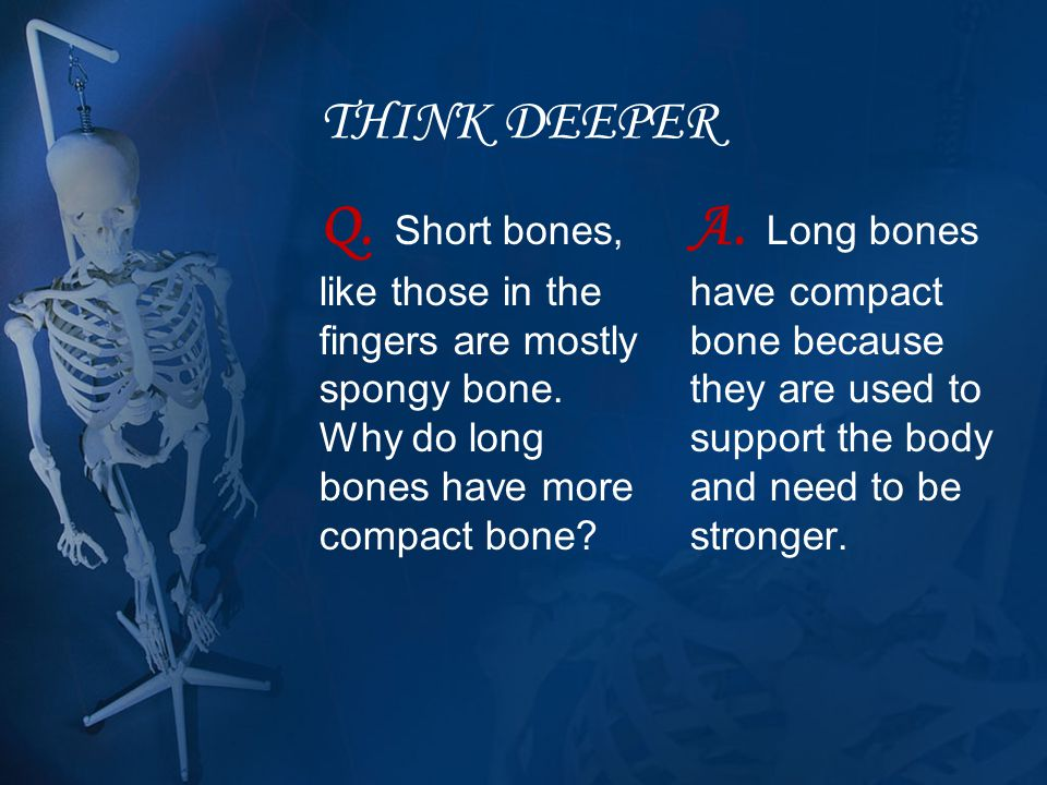 THINK DEEPER Q. Short bones, like those in the fingers are mostly spongy bone. Why do long bones have more compact bone? A. Long bones have compact bo