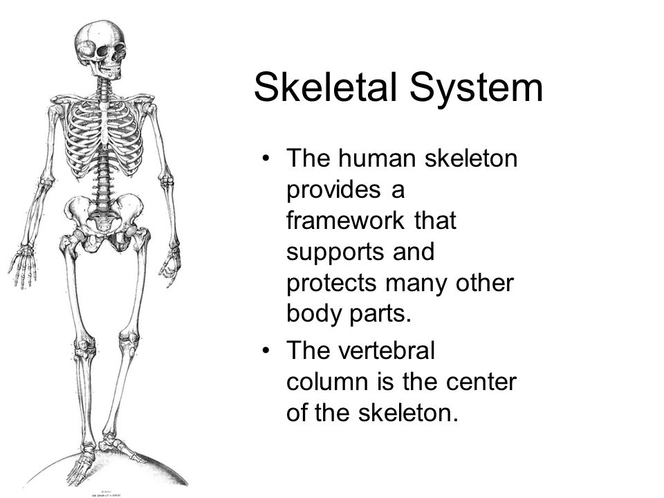 Skeletal System - cont'd The skeleton allows movement.