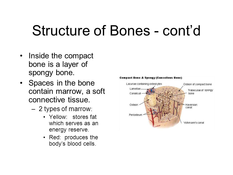 Cartilage A connective tissue that is more flexible than bone.