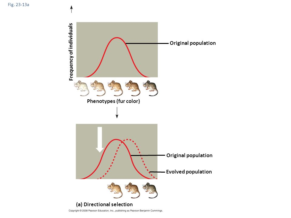 Fig. 23-13a Original population (a) Directional selection Phenotypes (fur color) Frequency of individuals Original population Evolved population