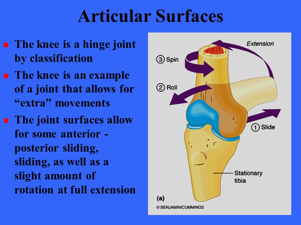 "Articular Surfaces The knee is a hinge joint by classification The knee is an example of a joint that allows for ""extra"" movements The joint surfaces"