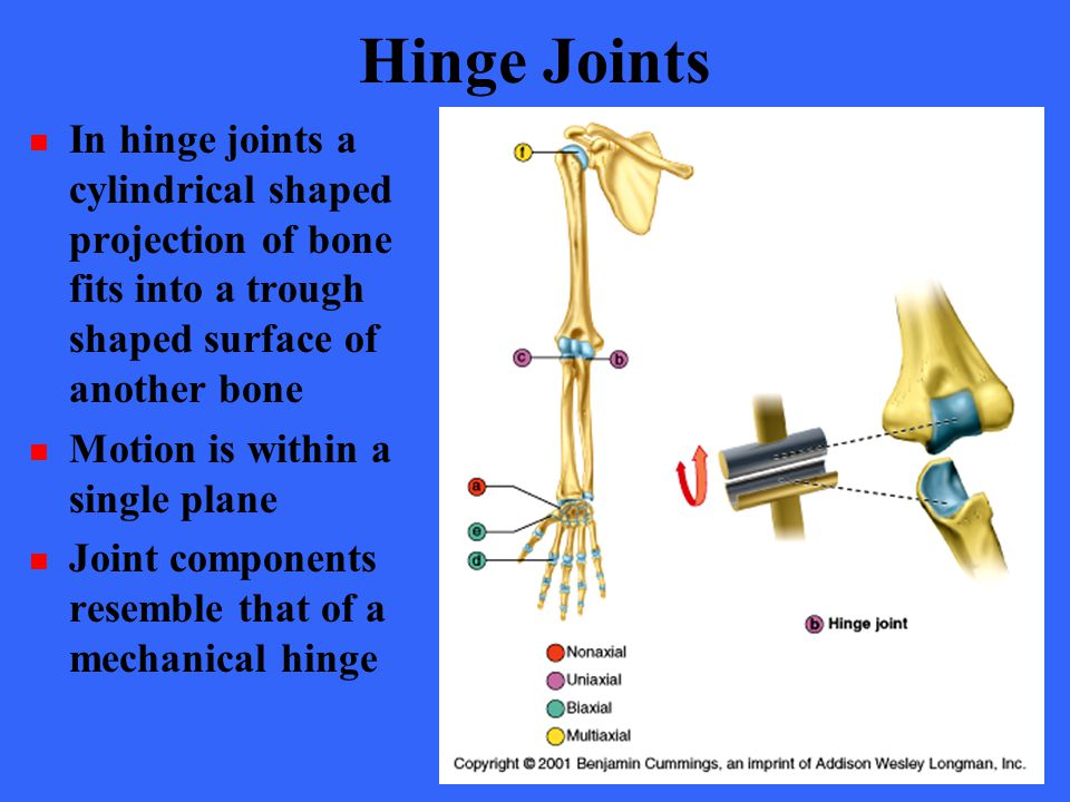 Hinge Joints In hinge joints a cylindrical shaped projection of bone fits into a trough shaped surface of another bone Motion is within a single plane