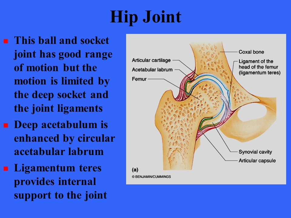 Hip Joint This ball and socket joint has good range of motion but the motion is limited by the deep socket and the joint ligaments Deep acetabulum is