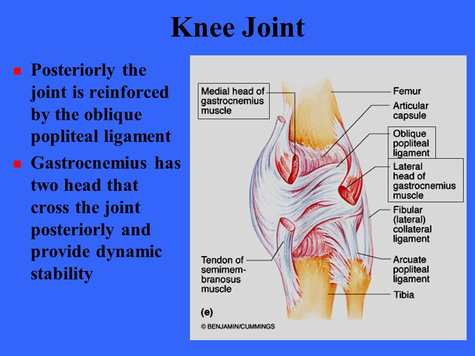 Knee Joint Posteriorly the joint is reinforced by the oblique popliteal ligament Gastrocnemius has two head that cross the joint posteriorly and provi