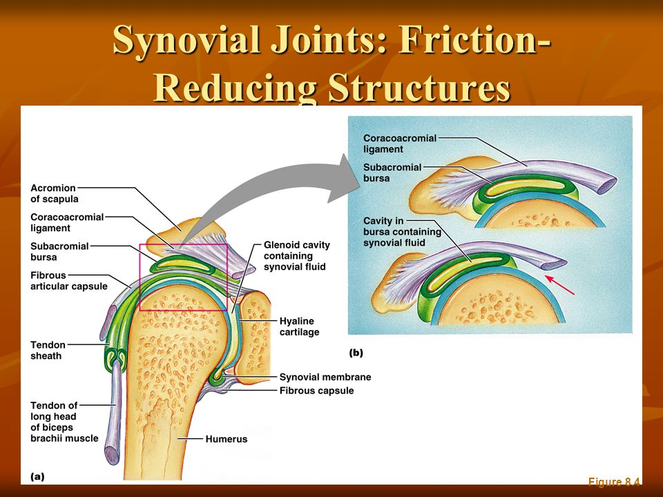 Synovial Joints: Friction- Reducing Structures Figure 8.4