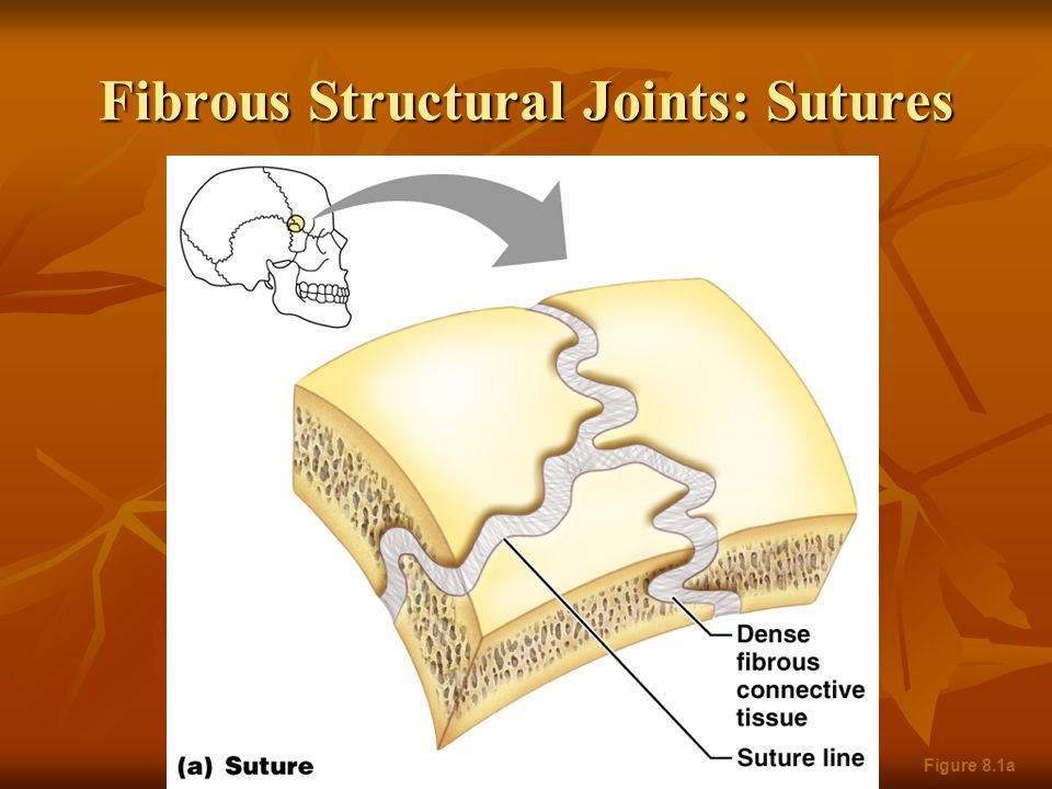 Fibrous Structural Joints: Sutures Figure 8.1a