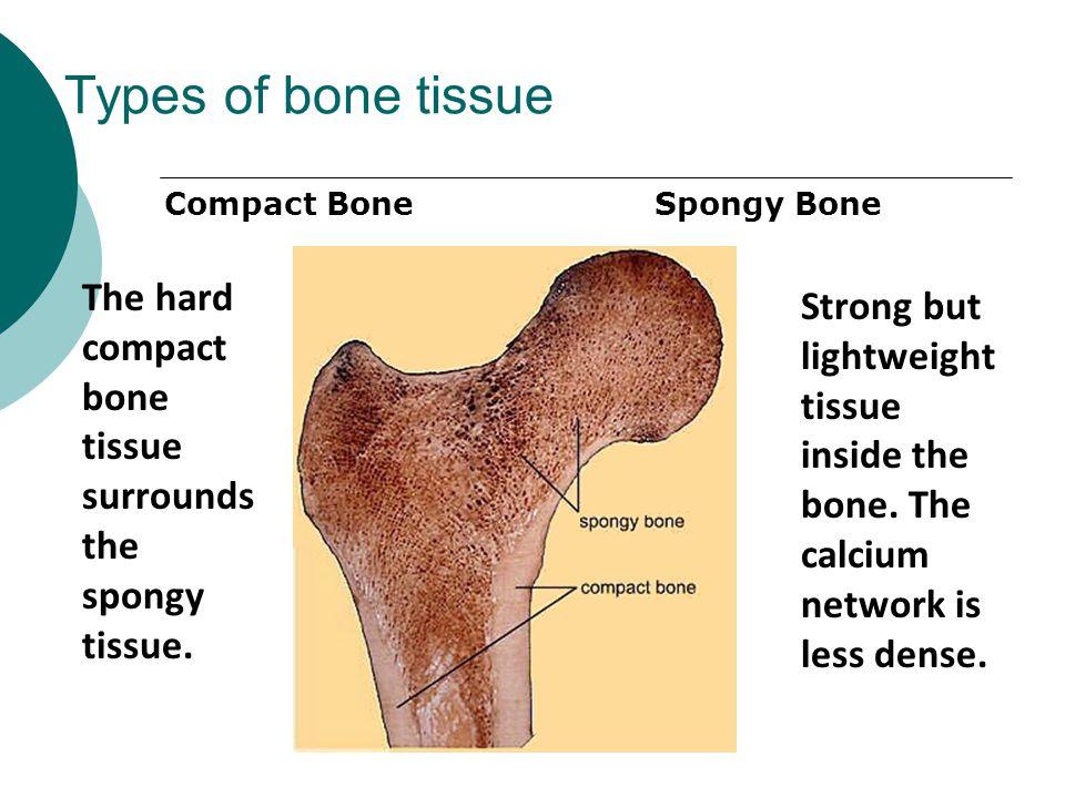 Types of bone tissue Compact Bone Spongy Bone The hard compact bone tissue surrounds the spongy tissue. Strong but lightweight tissue inside the bone.