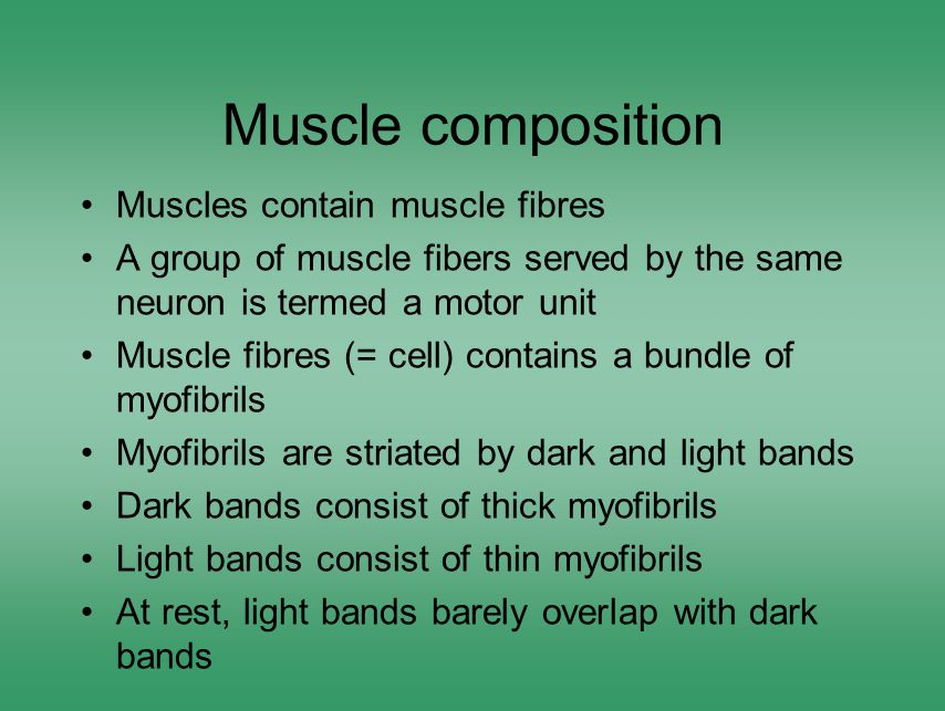 Muscle composition Muscles contain muscle fibres A group of muscle fibers served by the same neuron is termed a motor unit Muscle fibres (= cell) contains a bundle of myofibrils Myofibrils are striated by dark and light bands Dark bands consist of thick myofibrils Light bands consist of thin myofibrils At rest, light bands barely overlap with dark bands