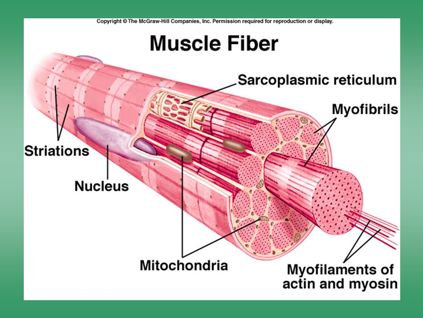 Muscle fibres