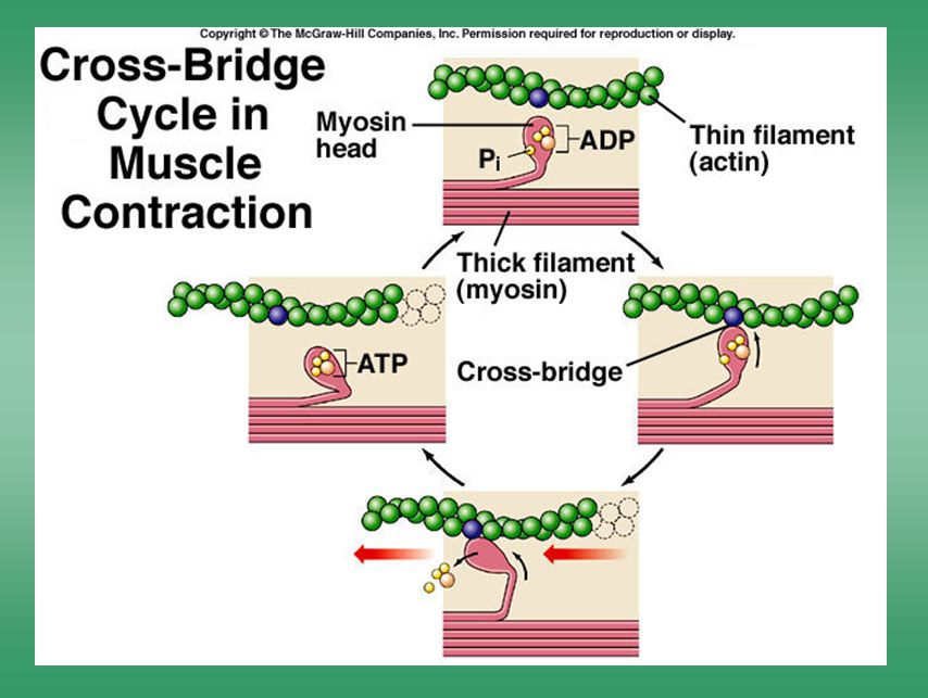 Cross-bridge cycle in muscle contraction