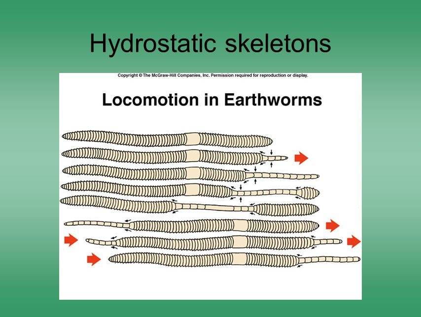 Hydrostatic skeletons