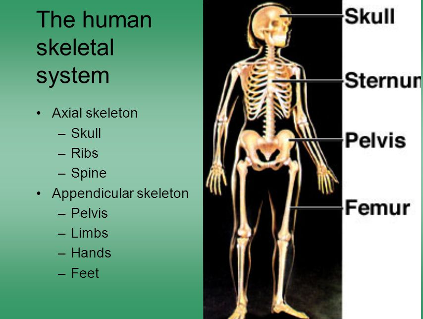 The human skeletal system Axial skeleton –Skull –Ribs –Spine Appendicular skeleton –Pelvis –Limbs –Hands –Feet