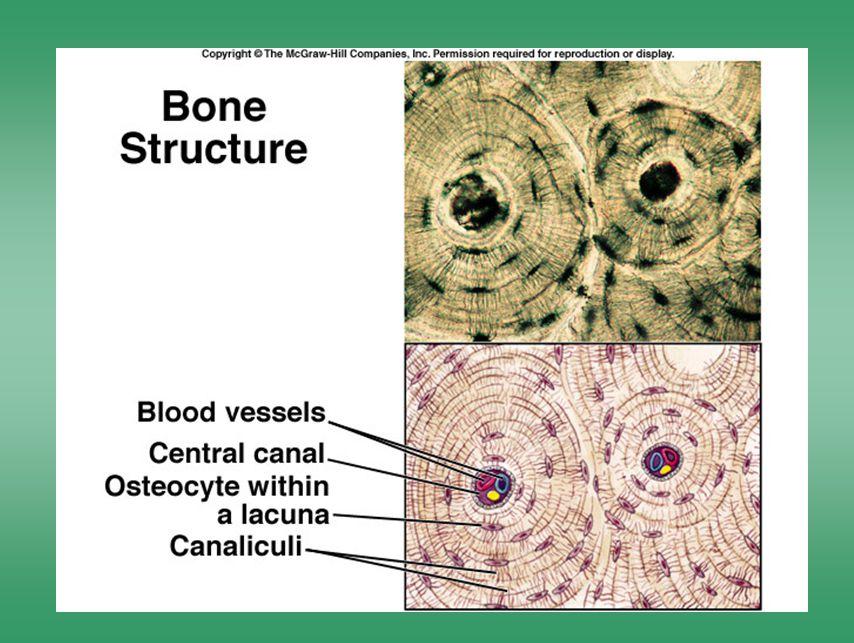 Bone structure 1