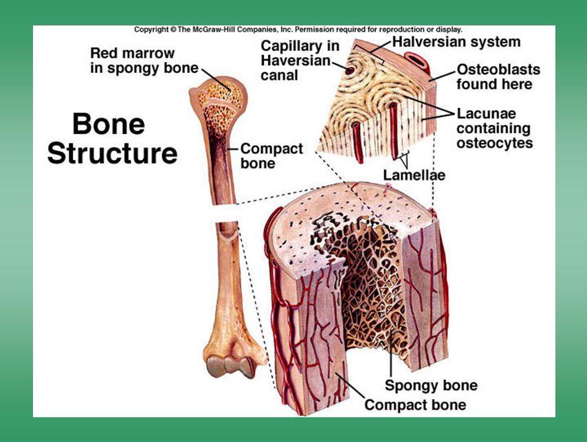 Bone structure 2