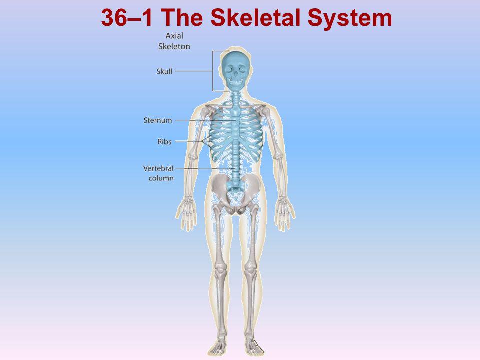 36–1 The Skeletal System