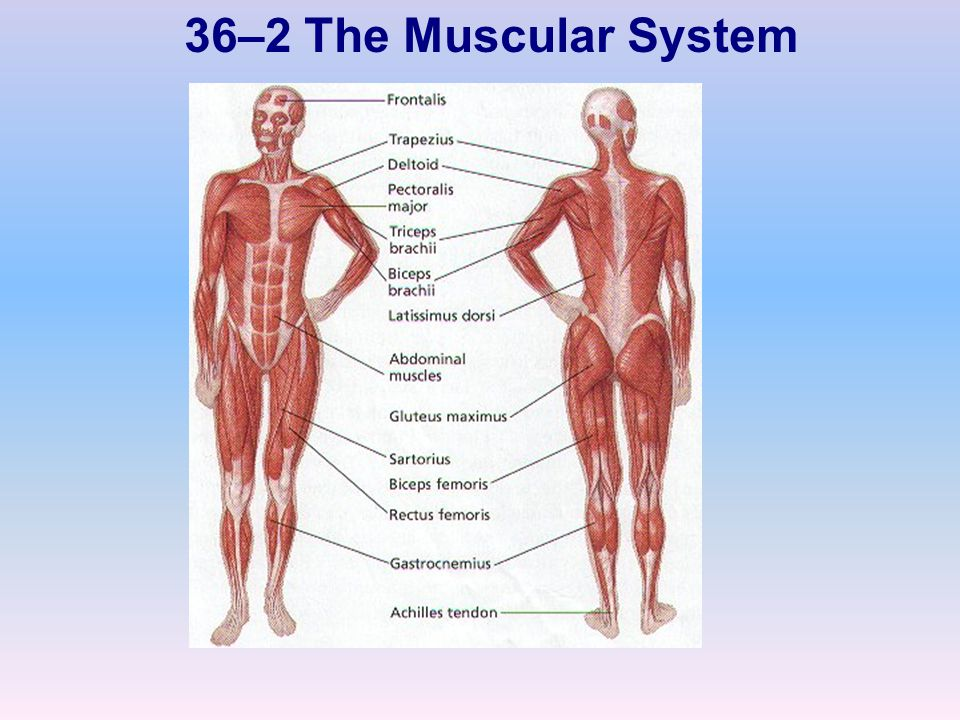 36–2 The Muscular System