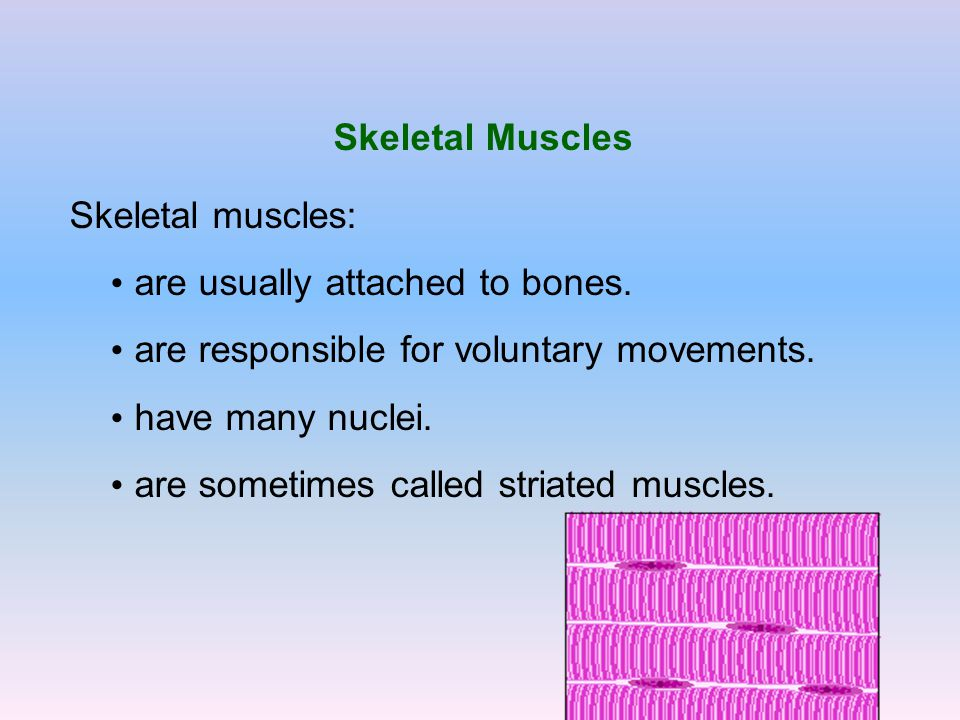 Skeletal Muscles Skeletal muscles: are usually attached to bones. are responsible for voluntary movements. have many nuclei. are sometimes called stri