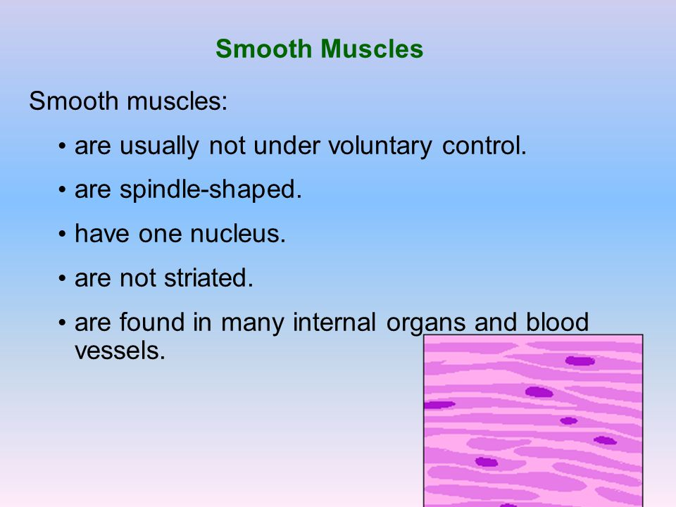 Smooth Muscles Smooth muscles: are usually not under voluntary control. are spindle-shaped. have one nucleus. are not striated. are found in many inte