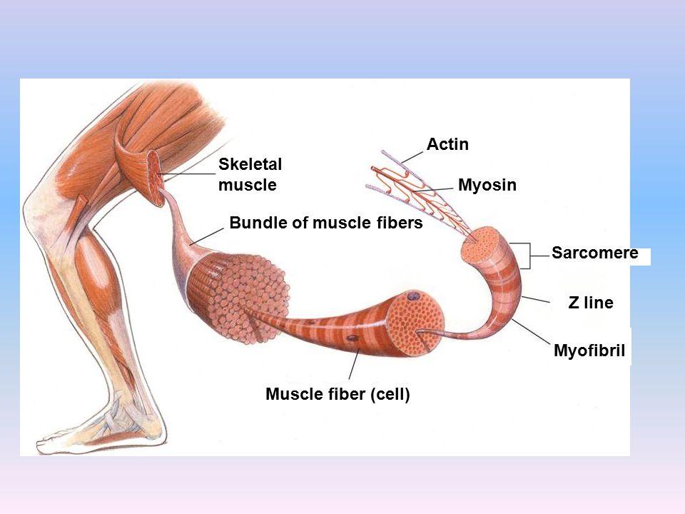 Skeletal muscle Bundle of muscle fibers Muscle fiber (cell) Myofibril Z line Sarcomere Myosin Actin