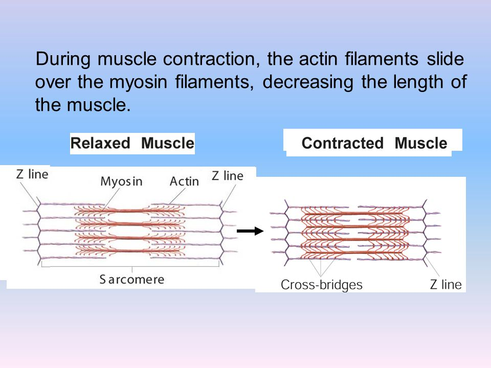 During muscle contraction, the actin filaments slide over the myosin filaments, decreasing the length of the muscle.