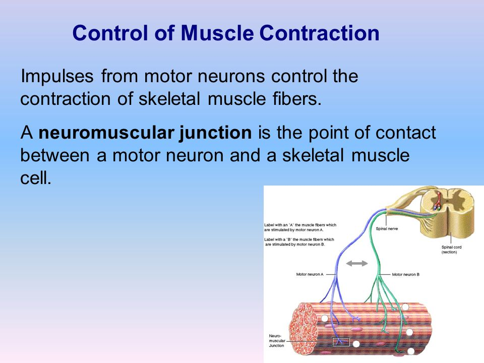 Control of Muscle Contraction Impulses from motor neurons control the contraction of skeletal muscle fibers. A neuromuscular junction is the point of